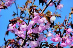 Die Scharlach-Kirsche Prunus sargentii 'Rancho' begeistert durch ihre Blüte.