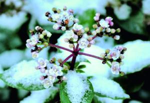Viburnum tinus, Chimonanthus praecox. Fotos: Ulrich Herzog