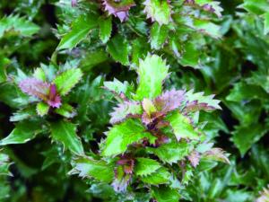 Ilex mersevae 'Little Rascal' erreichte das ganze Jahr über Bestnoten. Diese kompakte und winterharte Ilex-Sorte hat immergrünes, gezacktes Laub. Foto: LVG Heidelberg