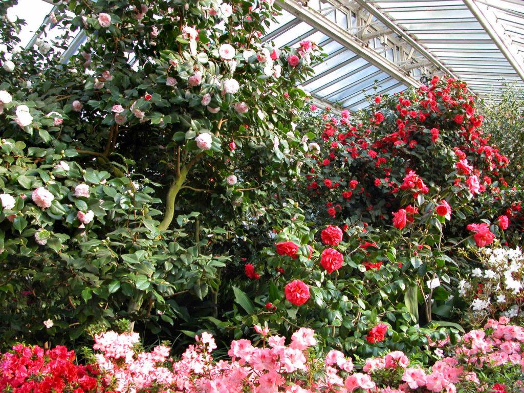 Das Kameliengewächshaus im Botanischen Garten in Berlin zeigt sich in einer üppigen Blütenpracht. Foto_ I. Haas, Botanischer Garten und Botanisches Museum Berlin-Dahlem